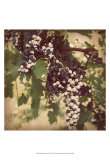Vintage Grape Vines IV Posters by Jason Johnson