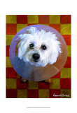 Bichon Print by Robert Mcclintock