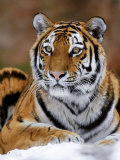 Siberian Tiger Print by Mauritius 