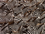 Zebras, Kenya Prints by Art Wofe