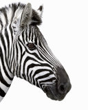 Zebra in Profile Art