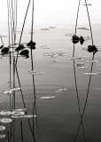 Tall Reeds Reflected Prints by David Gray