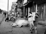Two Sacred Cows Shown on a Walk in a Poorer Section of Calcutta , India, 1947 Photo