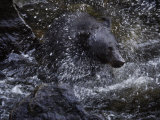 A black bear hunting for salmon in Anan Creek Photographic Print by Melissa Farlow