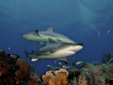 Caribbean reef sharks swimming in the waters off the Bahama Islands Photographic Print by Brian J. Skerry
