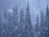 A summer snowstorm falls on evergreen trees Photographic Print by Michael Melford