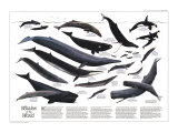 Whales Of The World Map Prints