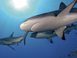 Caribbean reef sharks swimming in the waters off the Bahama Islands Fotoprint van Brian J. Skerry
