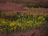 Autumn wind blowing golden rod and prairie grasses Photographic Print by Jim Richardson