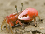 A fiddler crab forages on the mangrove mudflats at low tide Photographic Print by Tim Laman