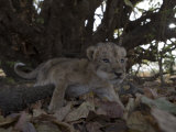 An orphaned lion cub after their mother was poisoned at a water hole Photographic Print by Michael Nichols