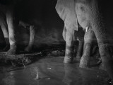Elephants drink from a waterhole made by swimming pool overflow Photographic Print by Michael Nichols