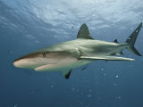 A Caribbean reef shark swimming in the waters off the Bahama Islands Fotoprint van Brian J. Skerry