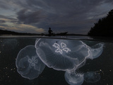 Moon jellyfish rise at nightfall off the island of Gam Photographic Print by David Doubilet