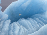 A kittiwake soars over a large iceberg in a fiord in Svalbard Photographic Print by Paul Nicklen