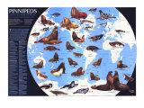 1987 Pinnipeds Around the World Map Plakaty autor National Geographic Maps