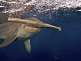 A great hammerhead shark swimming near the ocean's surface Photographic Print by Brian J. Skerry