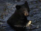 A black bear feeds on salmon in Anan Creek Photographic Print by Melissa Farlow