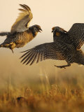 A pair of prairie chickens face off in dramatic aerial jousts Photographic Print by Jim Richardson