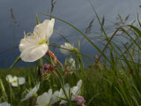 An evening primrose in bloom Photographic Print by Jim Richardson