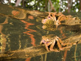 A crab forages on a red mangrove root Photographic Print by Tim Laman