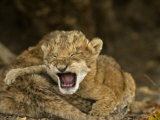 Lion cubs crying after their mother was poisoned at a water hole Photographic Print by Michael Nichols