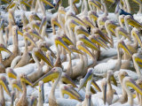 Pelicans gather to feed on fish trapped in river drying pools Photographic Print by Michael Nichols