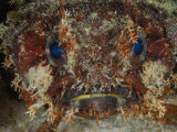 The startling eyes of a toadfish Photographic Print by David Doubilet
