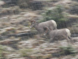 Nimble bighorn sheep sprint over steep slopes in an early snowfall Photographic Print by Michael Melford
