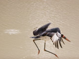 A stork takes flight above water Photographic Print by Michael Nichols