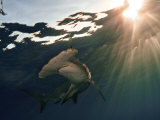A great hammerhead shark Fotoprint van Brian J. Skerry