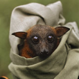 A red flying fox bat is being held in a pillowcase Photographic Print by Lynn Johnson