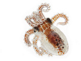 This young octopus surfaces under cover of darkness to feed Photographic Print by David Liittschwager