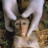 A sedated juvenile rhesus macaque yields biological samples Photographic Print by Lynn Johnson