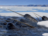 A pod of male narwhals gather at the Arctic ice edge to eat cod Valokuvavedos tekijänä Paul Nicklen