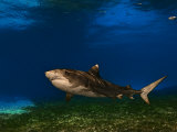 A tiger shark swimming over a turtle grass habitat Fotoprint van Brian J. Skerry