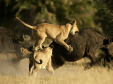 Female African lions pounce on an African buffalo Photographic Print by Beverly Joubert