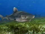 A young tiger shark swimming over turtle grass Stampa fotografica di Skerry, Brian J.