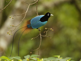 A male blue bird of paradise perched in a fruiting tree Photographic Print by Tim Laman