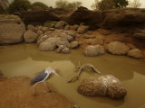 A marabou stork feeds on fish at a drying pool Photographic Print by Michael Nichols