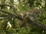 A mother holds on to her cub dangling from a high tree branch Photographic Print by Beverly Joubert