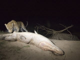 A camera trap captures a leopard with a crocodile carcass Photographic Print by Michael Nichols