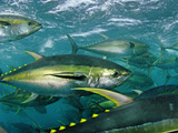 Yellowfin tuna are cage-fed to improve the quality of their meat Photographic Print by Brian J. Skerry