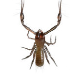 Venom-spitting pincers make this pseudoscorpion a formidable predator Photographic Print by David Liittschwager