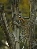 A young leopard practices her hunting skills on quick squirrels Photographic Print by Beverly Joubert