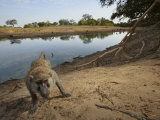 A remote camera captures a curious baboon Photographic Print by Michael Nichols