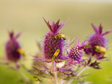Eryngo flowers color the Flint Hills with summer bursts of violet Photographic Print by Jim Richardson