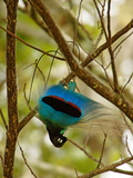 A male blue bird of paradise performing inverted practice display Lámina fotográfica por Tim Laman