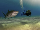 A female diver swims with tiger sharks and a remora Fotoprint van Brian J. Skerry