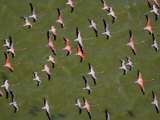 A squadron of flamingos in close formation Photographic Print by Bobby Haas